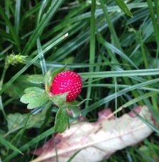 Baby strawberry in the wild - don't think I've ever seen.